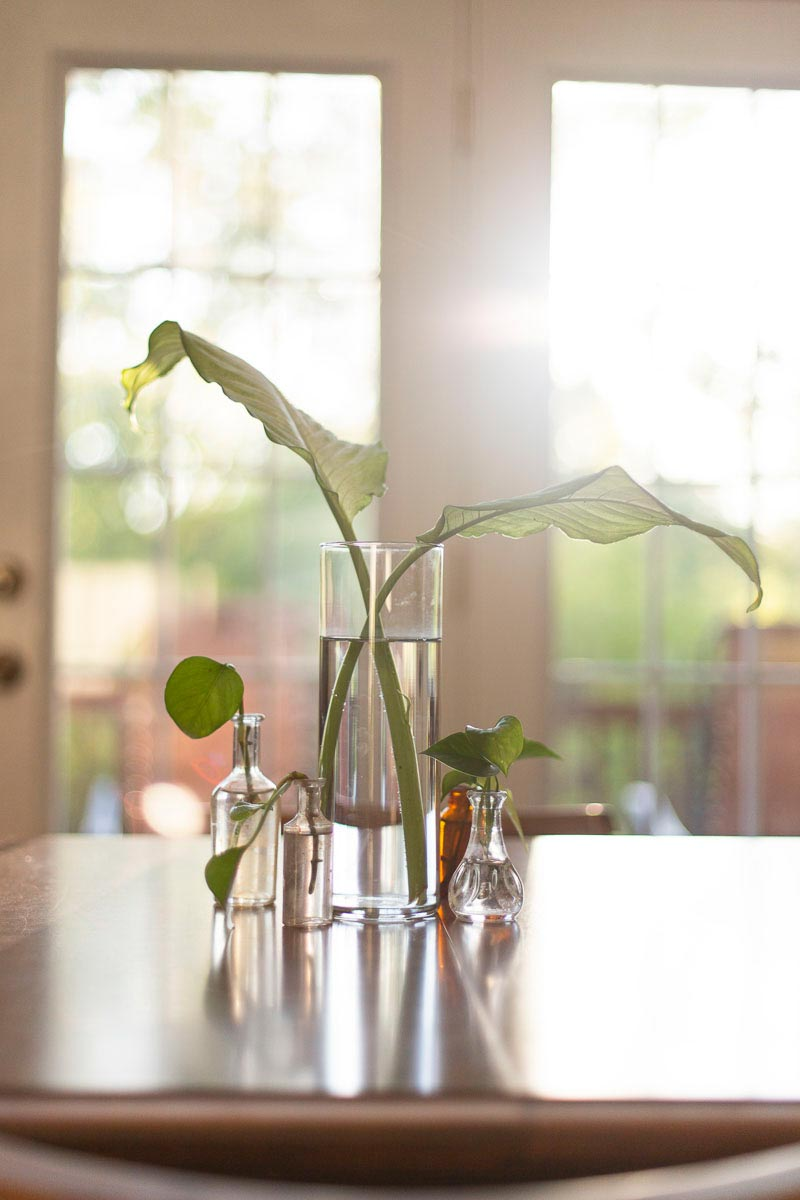 dumb cane and pothos cuttings on my dining room table in the morning sunlight