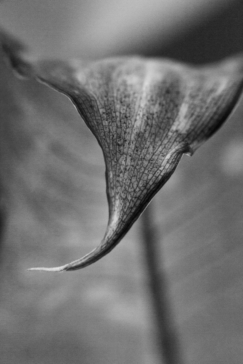 close up of dumb cane leaf curled